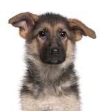 Close-up do filhote de cachorro do pastor alemão, 4 meses velho imagem de stock
