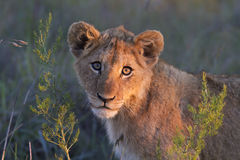 Close-up do filhote de leão imagem de stock royalty free