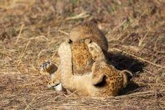 Close up do filhote de leão, Masai Mara Reserve foto de stock royalty free