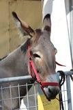 Close-up do focinho de um asno marrom Fotografia de Stock Royalty Free