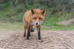 Close-up do Fox Fotografia de Stock
