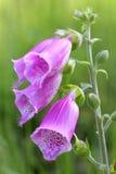 Close-up do Foxglove (purpurea da digital) Imagens de Stock Royalty Free