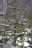 Close up do fundo da Natal-árvore Fotografia de Stock Royalty Free