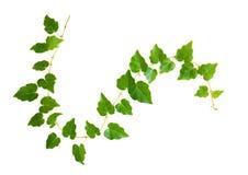Close up do galho acenado da hera com as folhas verdes pequenas fotos de stock royalty free