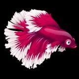 Close up do galo novo dos peixes vermelhos e brancos em um preto Imagens de Stock