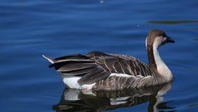 Close up do ganso da cisne na água filme