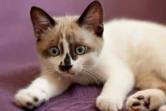 Close-up do gatinho dentro Foto de Stock Royalty Free