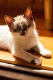 Close-up do gatinho dentro Fotos de Stock Royalty Free