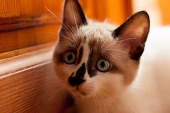 Close-up do gatinho dentro Fotos de Stock