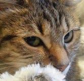 Close up do gato 2 Fotografia de Stock Royalty Free