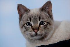 Close up do gato Imagem de Stock Royalty Free