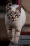 Close up do gato Imagens de Stock Royalty Free