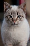 Close up do gato Fotografia de Stock