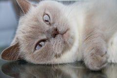 Close-up do gato britânico branco do shorthair na superfície do vidro da tabela Foto de Stock