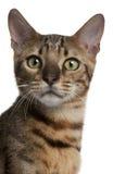 Close-up do gato de Bengal, 6 meses velho Imagem de Stock