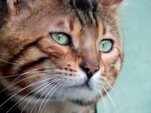 Close-up do gato de Bengal Imagem com expressões diferentes do focinho Foto de Stock