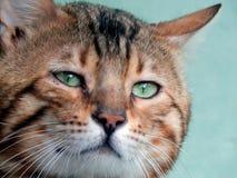 Close-up do gato de Bengal Imagem com expressões diferentes do focinho Foto de Stock Royalty Free
