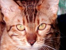 Close-up do gato de Bengal Imagem com expressões diferentes do focinho Fotos de Stock