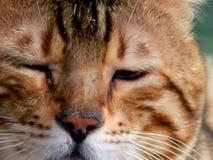 Close-up do gato de Bengal Imagem com expressões diferentes do focinho Fotografia de Stock