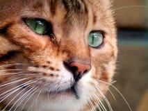 Close-up do gato de Bengal Imagem com expressões diferentes do focinho Imagem de Stock Royalty Free