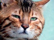 Close-up do gato de Bengal Imagem com expressões diferentes do focinho Imagens de Stock