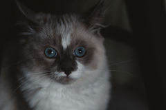 Close-up do gato de Ragdoll Fotografia de Stock