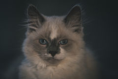 Close-up do gato de Ragdoll Imagem de Stock