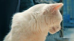 Close-up do gato disperso prendido das m?os trocas de car?cias volunt?rias no abrigo do animal de estima??o Conceito dos povos, d video estoque