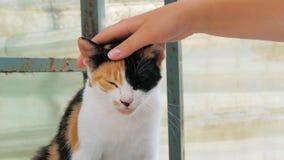 Close-up do gato disperso prendido trocas de carícias da mão do voluntário no abrigo do animal de estimação Conceito dos povos, d filme