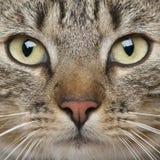 Close-up do gato europeu de Shorthair Foto de Stock Royalty Free