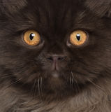 Close-up do gato Longhair britânico Imagem de Stock