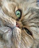 Close-up do gato persa Fotos de Stock Royalty Free