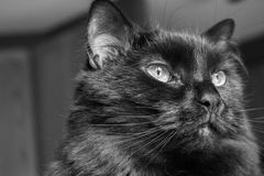 Close up do gato preto Fotos de Stock