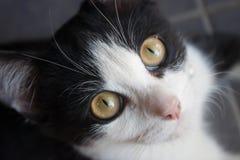 Close up do gato preto Foto de Stock