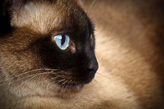 Close up do gato Siamese Fotos de Stock
