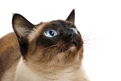 Close up do gato Siamese Fotos de Stock Royalty Free