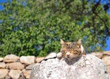 Close-up do gato do sono Imagem de Stock