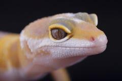 Close-up do geco amarelo e branco Foto de Stock