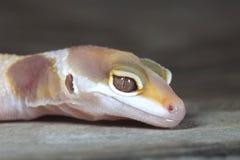 Close-up do geco amarelo e branco Imagens de Stock