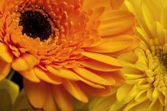 Close up do Gerbera Imagem de Stock Royalty Free