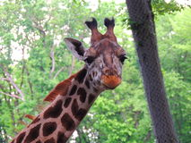 Close up do girafa Fotografia de Stock Royalty Free