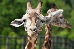 Close-up do girafa Foto de Stock Royalty Free