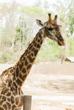 Close-up do giraffe Fotografia de Stock Royalty Free