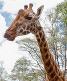 Close-up do giraffe Foto de Stock Royalty Free