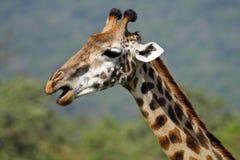 Close-up do Giraffe, Arusha NP, Tanzânia Imagem de Stock