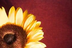 Close up do girassol fotografia de stock