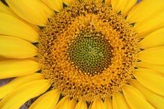 Close-up do girassol Imagens de Stock