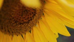 Close-up do girassol vídeos de arquivo
