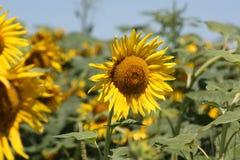 Close up do girassol do país de Kansas Fotografia de Stock