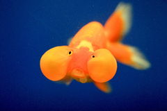 Close up do Goldfish foto de stock